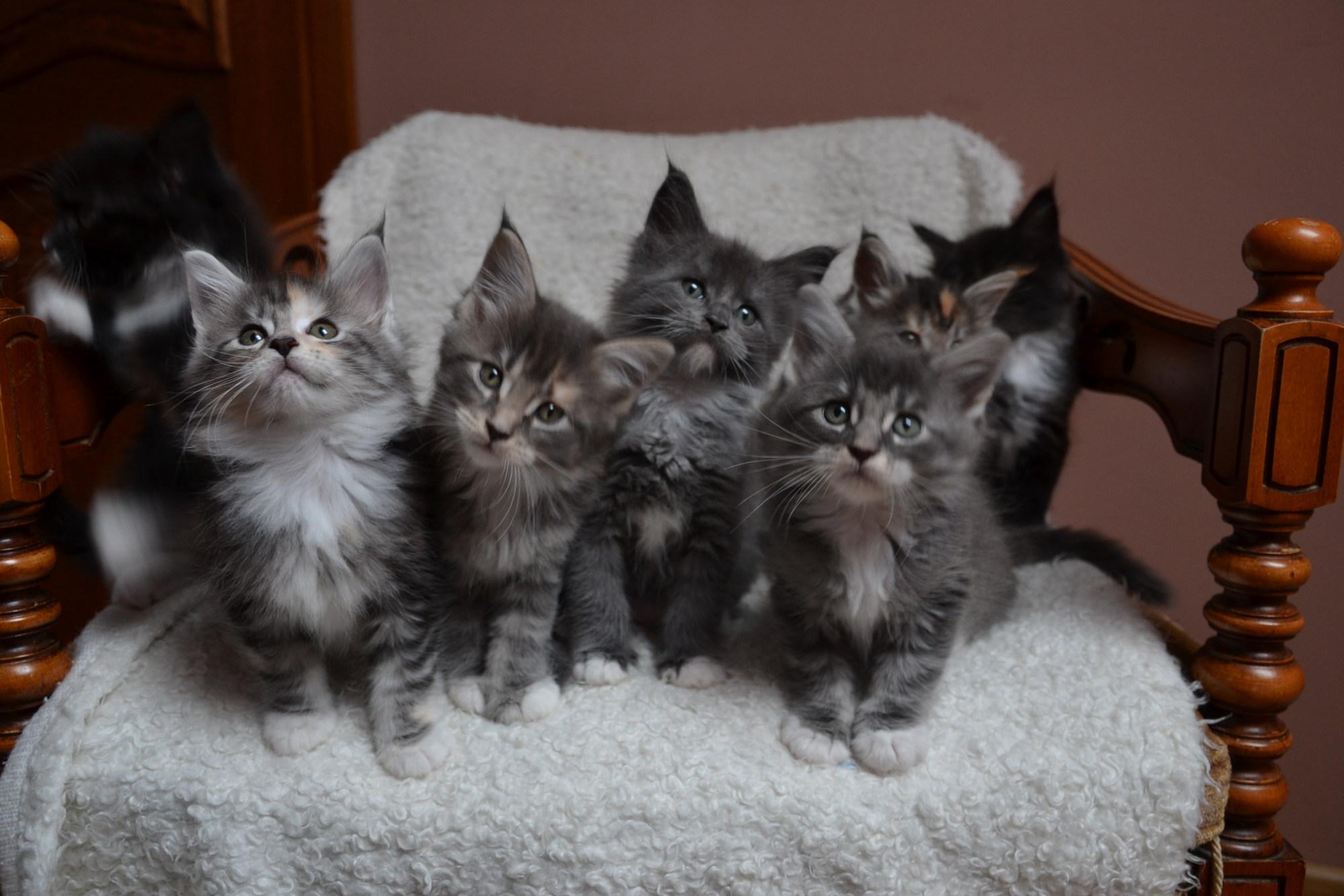 Bardzo dobryFantastyczny Hodowla Kotów Maine Coon BENDEROSE*PL - Mamy wolne kocięta ! MM49