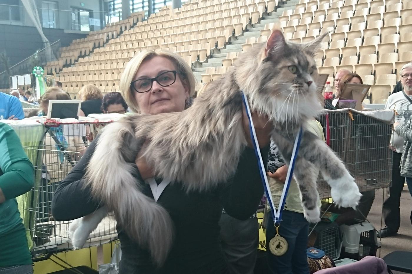 Bardzo dobry Hodowla Kotów Maine Coon BENDEROSE*PL - Mamy wolne kocięta ! CM84